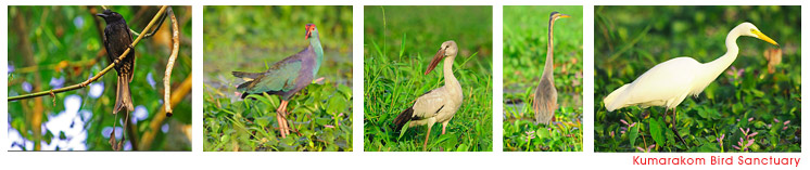 Birds at Kumarakom Bird Sanctuary